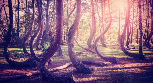 The Crooked Forest in Gryfino, Poland.