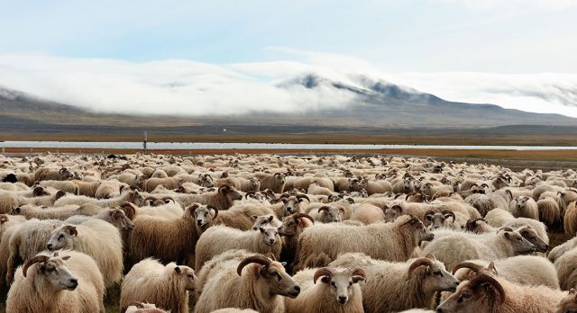 After the round-up, sheep are sorted in pens and collected by local farmers. Photo: Getty Images & Alloverpress