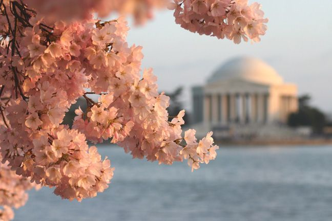 Cherry blossoms at Jefferson In Washington DC.