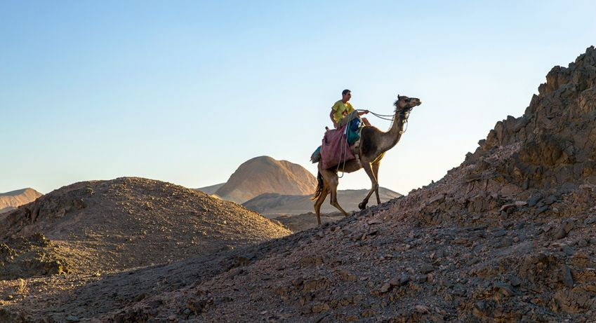 Camels can walk for two weeks without drinking any water. Photo: Robert Seger