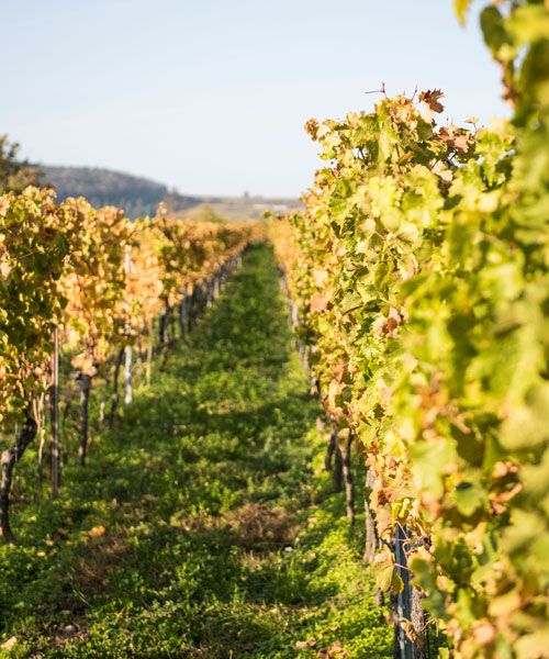 A vineyard at the German Wine Route. Photo: Achim Multhaupt