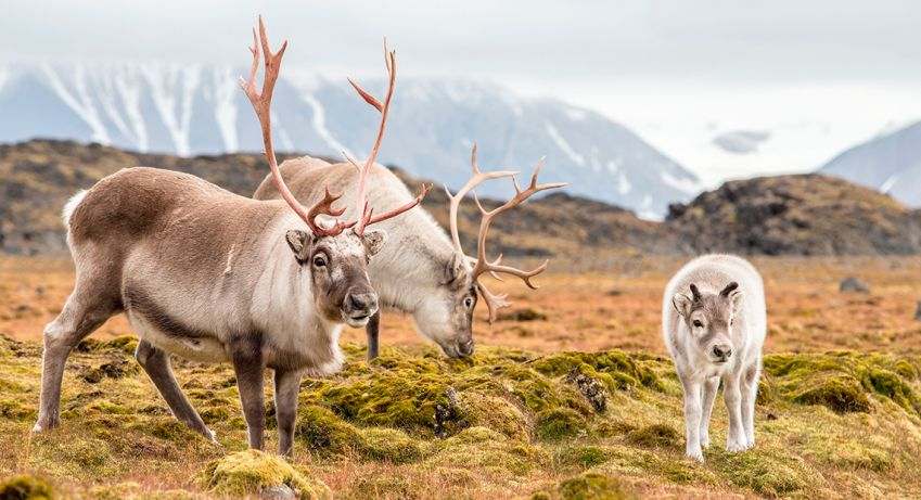 Raindeers in Svalbard. Photo: Shutterstock